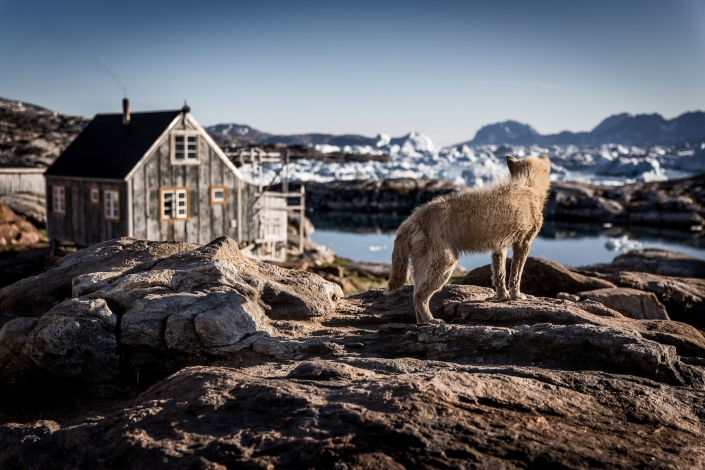 A sled dog in Tiniteqilaaq waiting for winter in East Greenland-min. Photo by Mads Pihl - Visit Greenland