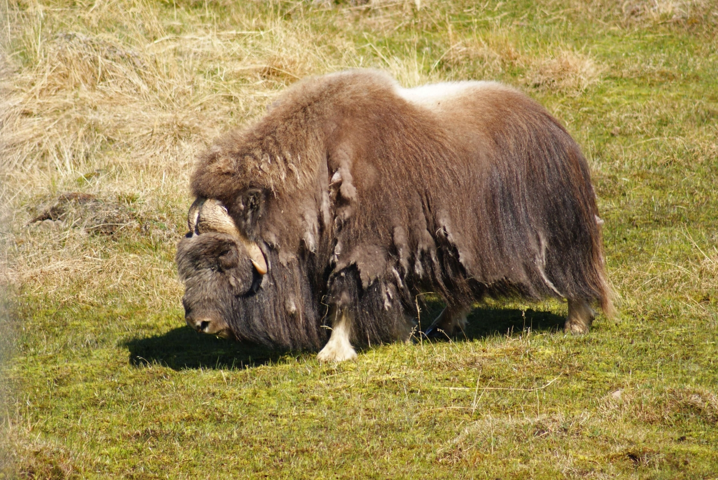 Muskox Bull on green meadow in Kangerlussuaq. Photo by Greenland Outdoors