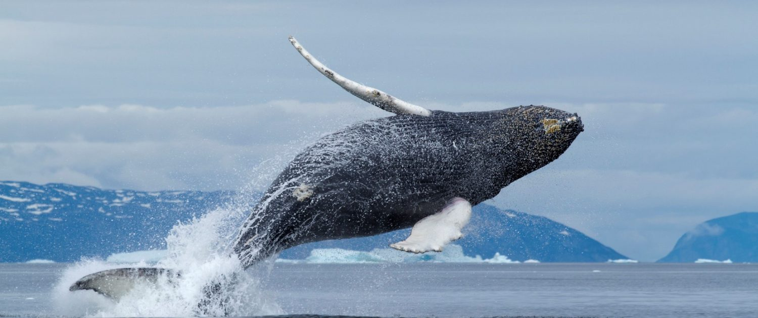 Whale spotted at Diskobugten, North Greenland, Paul Souders