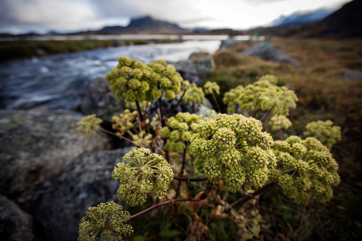 Angelica growing on the river banks of the Erfalik in Greenland. Photo by Mads Pihl - Visit Greenland