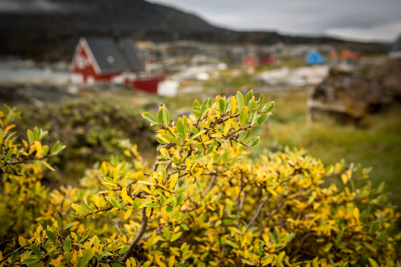 Autumn colours in Oqaatsut in the Disko Bay in Greenland. By Mads Pihl