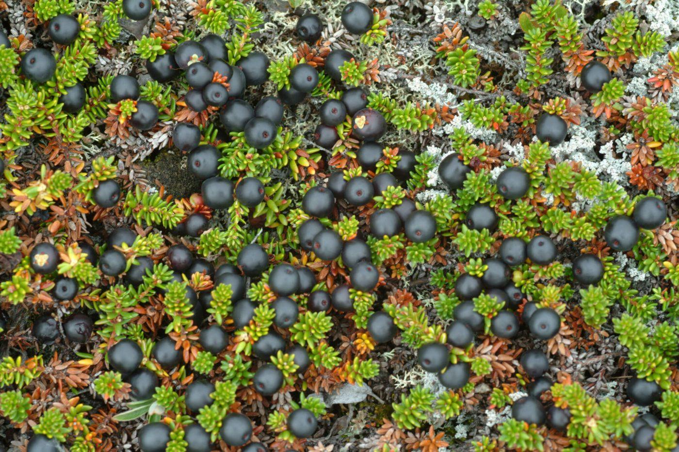 Blackberries in Greenland, by Visit Greenland