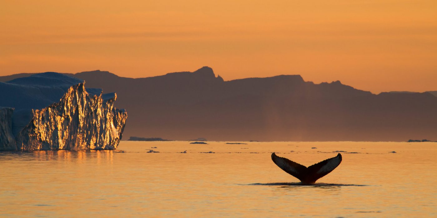 A humpback whale submerging. Photo by Julie Skotte, Visit Greenland