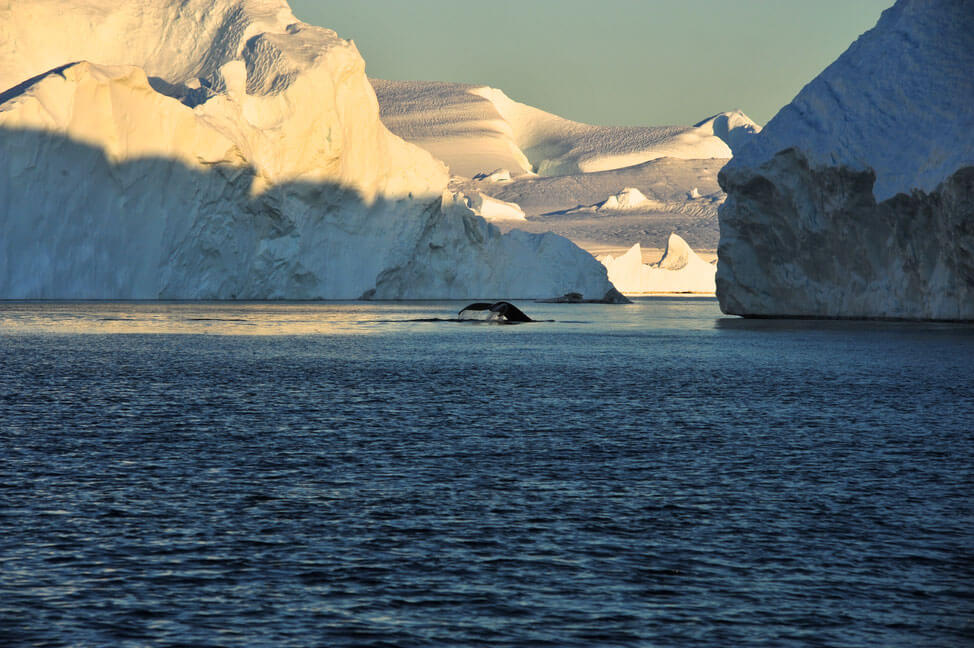 A whale diving, showing its tail fin in between icebergs. Photo by Honest Greenland