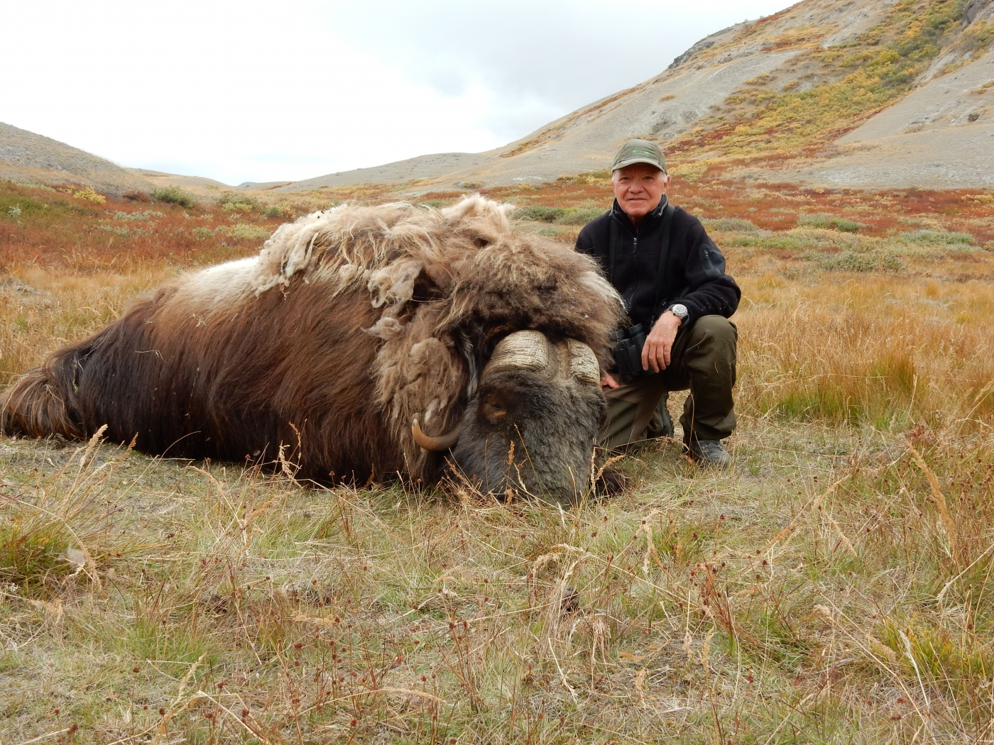 Musk ox in green landscape. Photo by Trophy Hunting Greenland, Visit Greenland