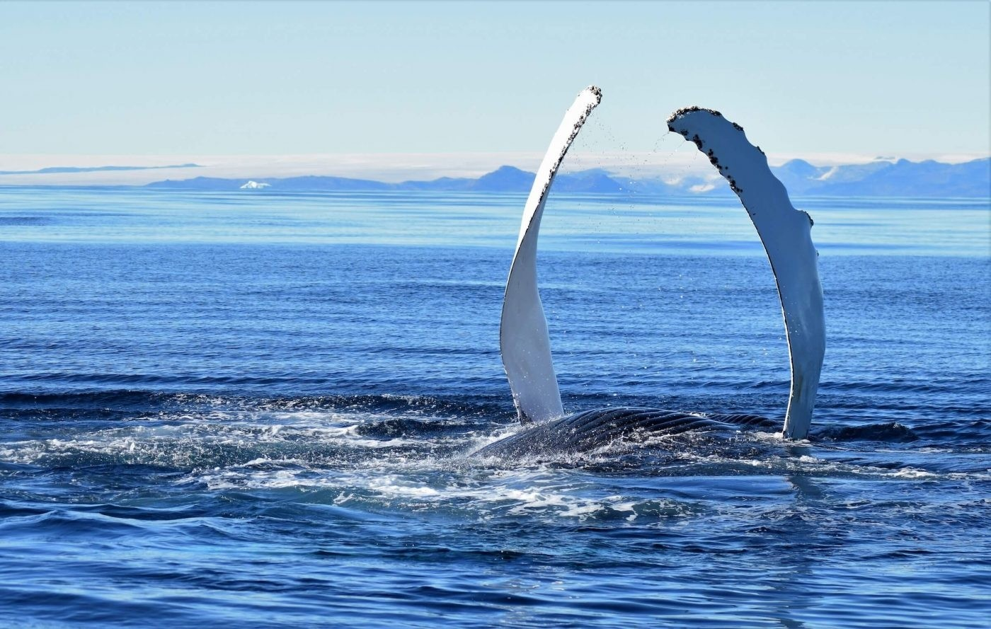 Humpback whale showing its finns in East Greenland. Photo by Tasiilaq Tours