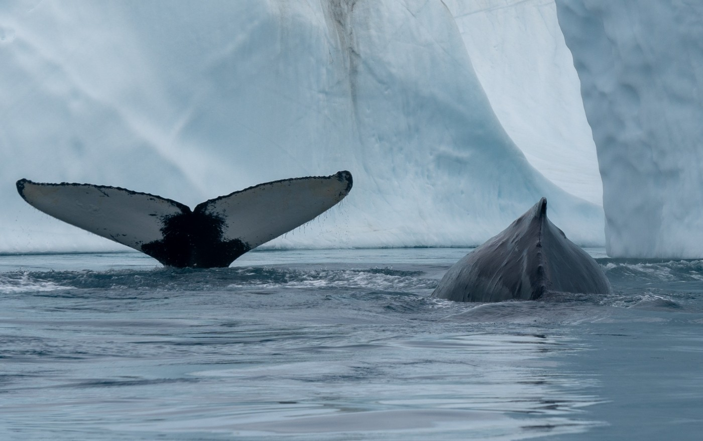 Two whales surfacing between icebergs. Photo by Greenland Fiord Tours