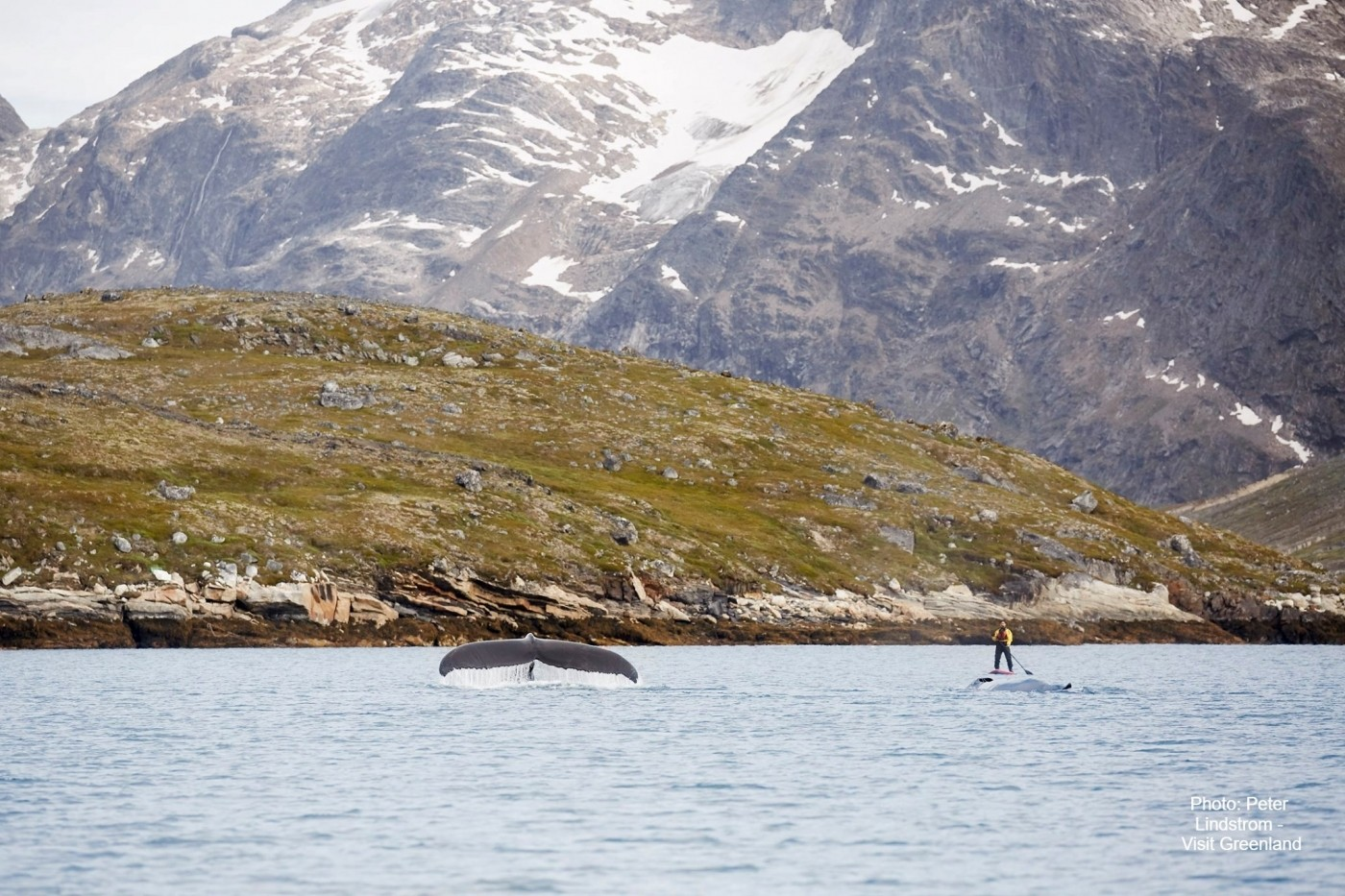 Stand up paddleboarder meets whale with Nuuk Adventure. Photo by Peter Lindstrom - Visit Greenland