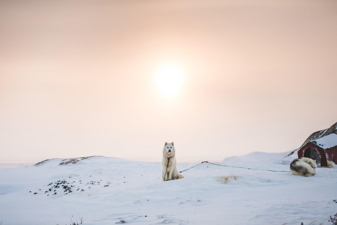 Greenlandic Sled Dog in Soft Sunset Light. Photo by Benjamin Hardman - Visit Greenland