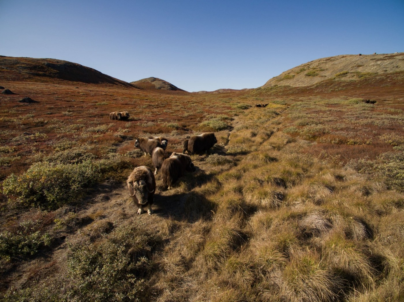 Muskoxen in the backcountry. Photo by Aningaaq R Carlsen