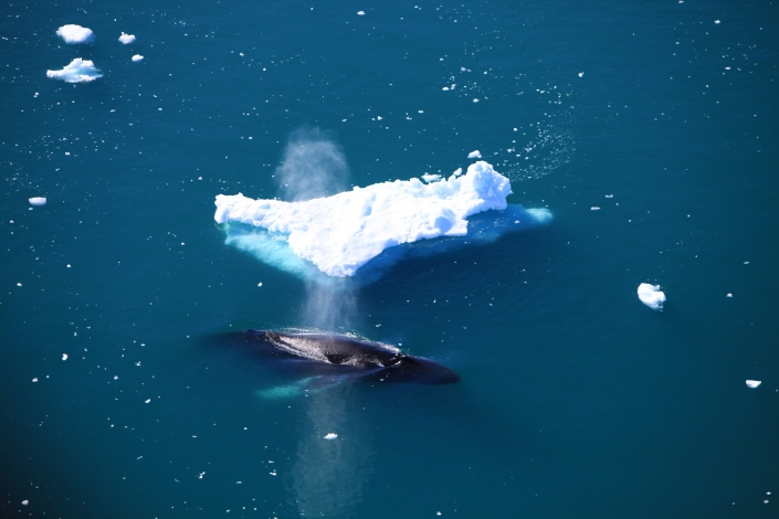 An aerial view of a humpback surfacing near Ilulissat in Greenland