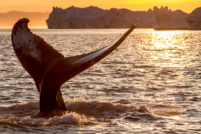 Humpback whale tail fin in midnight sun among icebergs. Photo by Julie Skotte - Visit Greenland