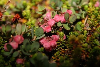 Pink flowers in summer. Photo by Nuuk Bay Adventures, Visit Greenland