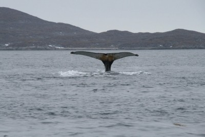Whale tail around Nuuk in summer. Photo by Nuuk Bay Adventures, Visit Greenland