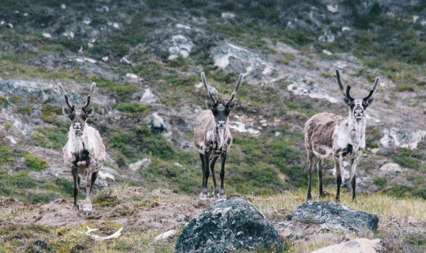 Wild Reindeers in South Greenland.