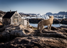 A sled dog in Tiniteqilaaq waiting for winter in East Greenland
