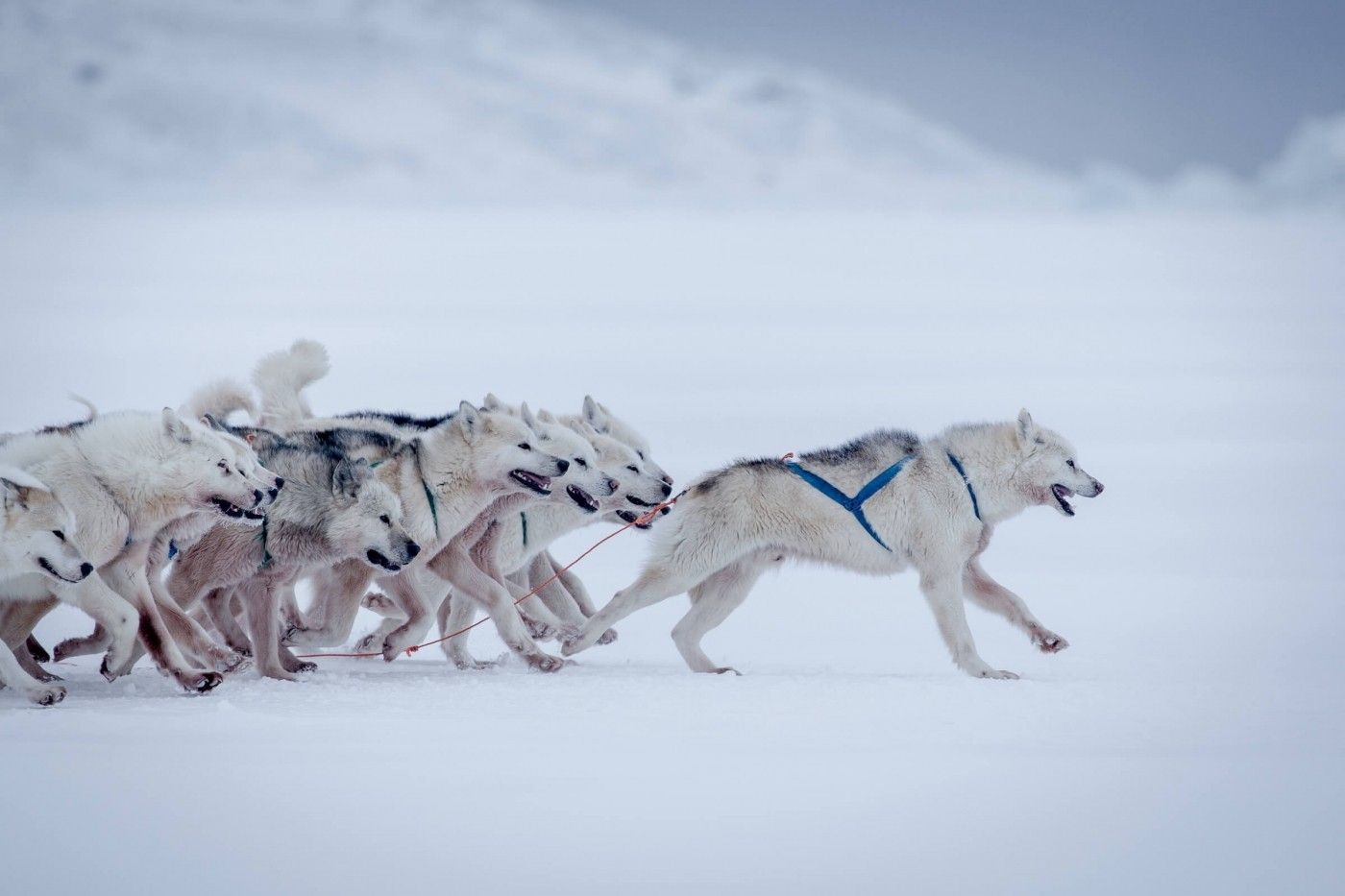 Sled dogs at full speed outside Oqaatsut in Greenland. Photo by Mads Pihl, Visit Greenland