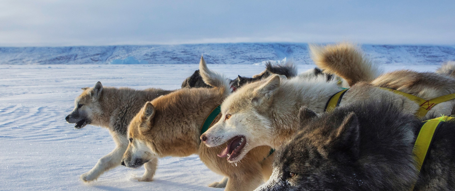 Sled dog pack from the side. Photo - Trevor Traynor, Visit Greenland