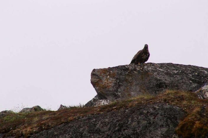 Eagle standing on a rock in Kapisillit. Photo by Asimut Tours and Camp