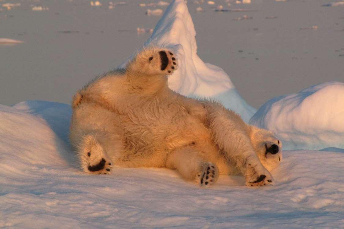 Polar bear enjoying the sun while lying on a floating iceberg on sea. Photo by Nanu Travel