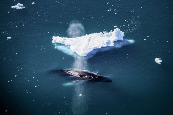 Humpback exhausting while passing near iceberg. Photo by Anne Mette Christiansen - Visit Greenland