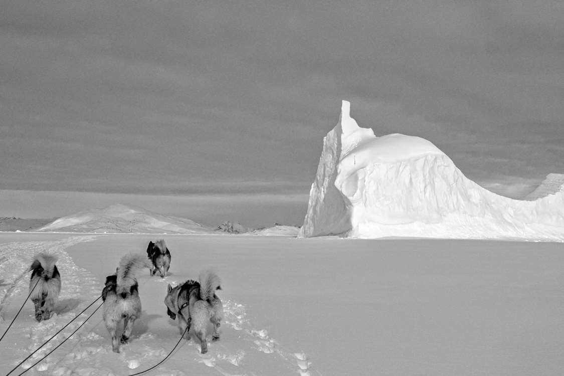 Sleddogs in black and white on ice with a huge iceberg in the horizon. Photo by Pirhuk - Greenland Expedition Specialists